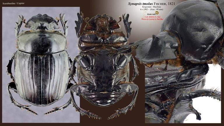 Synapsis tmolus.jpg