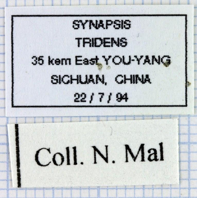 Synapsis tridens 33946.jpg