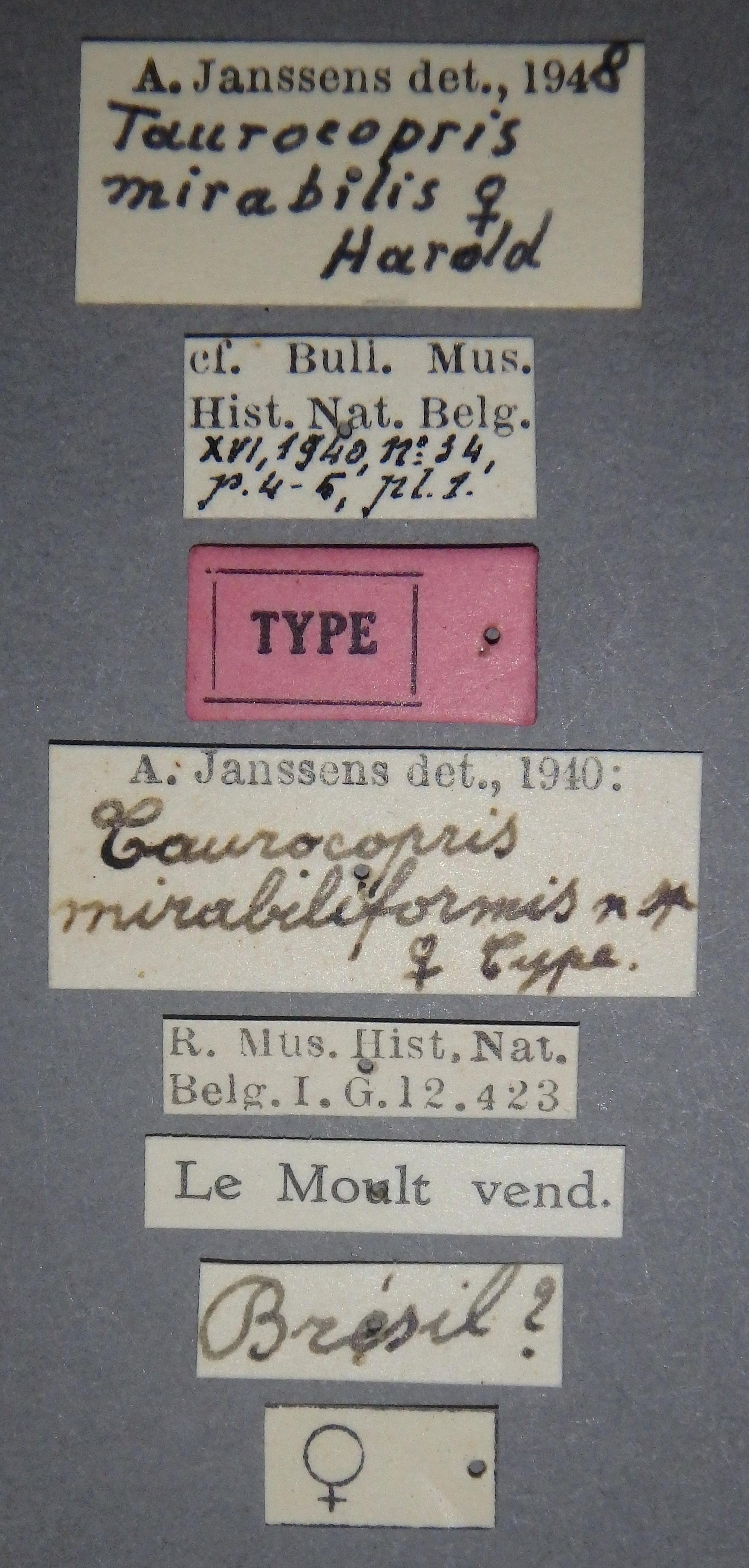 Taurocopris mirabiliformis t F Lb.JPG