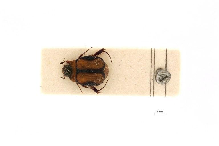 Microserica leopoldiana st D.jpg