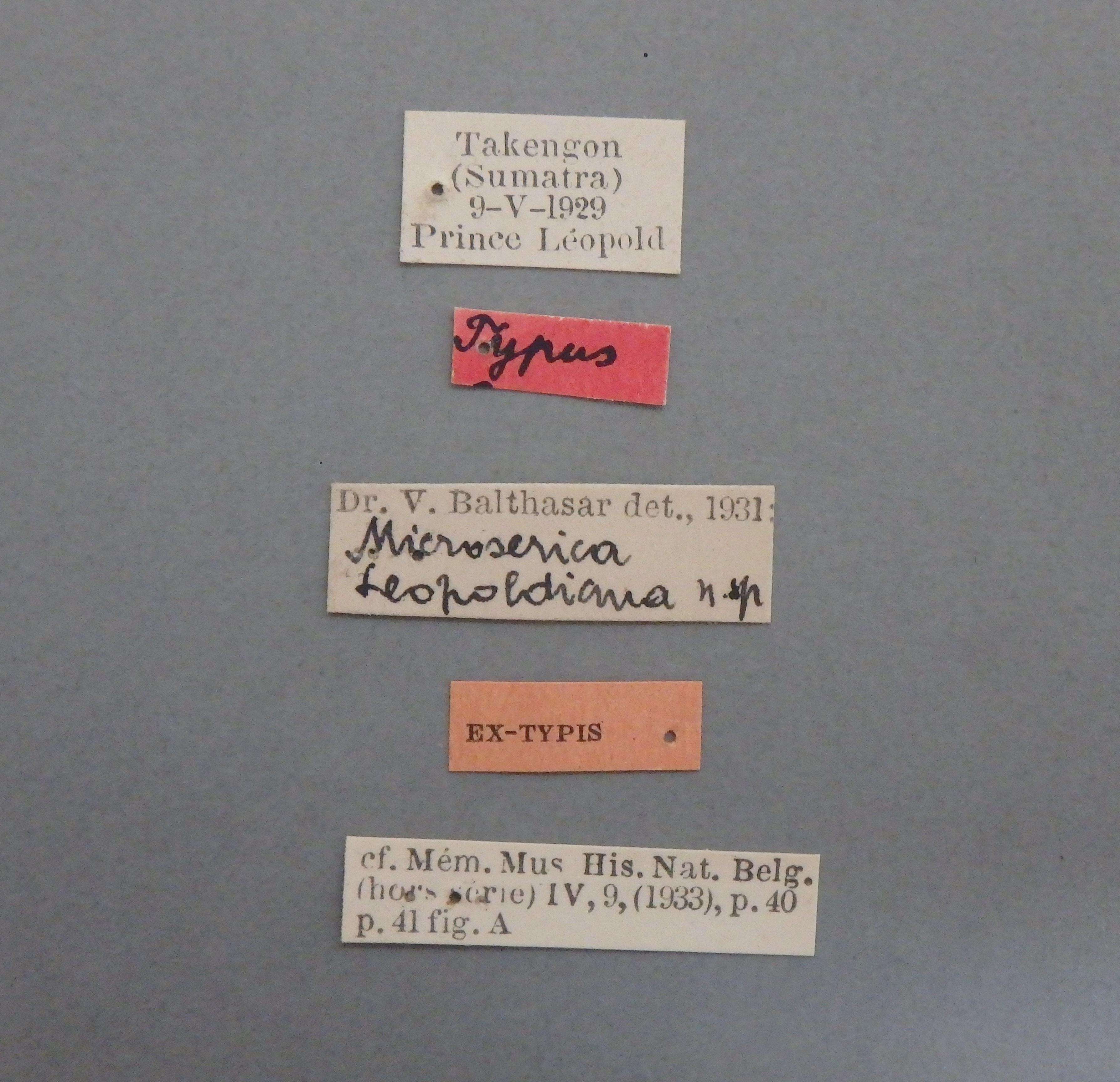 Microserica leopoldiana st.JPG
