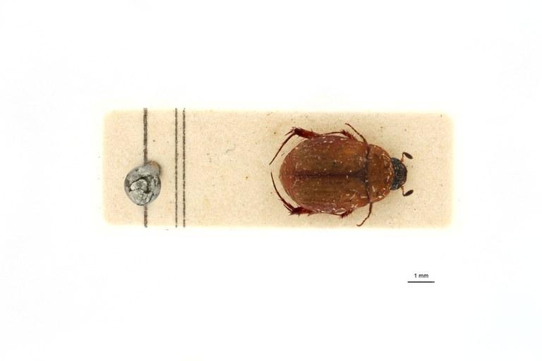 Microserica leopoldiana debilis st D.jpg