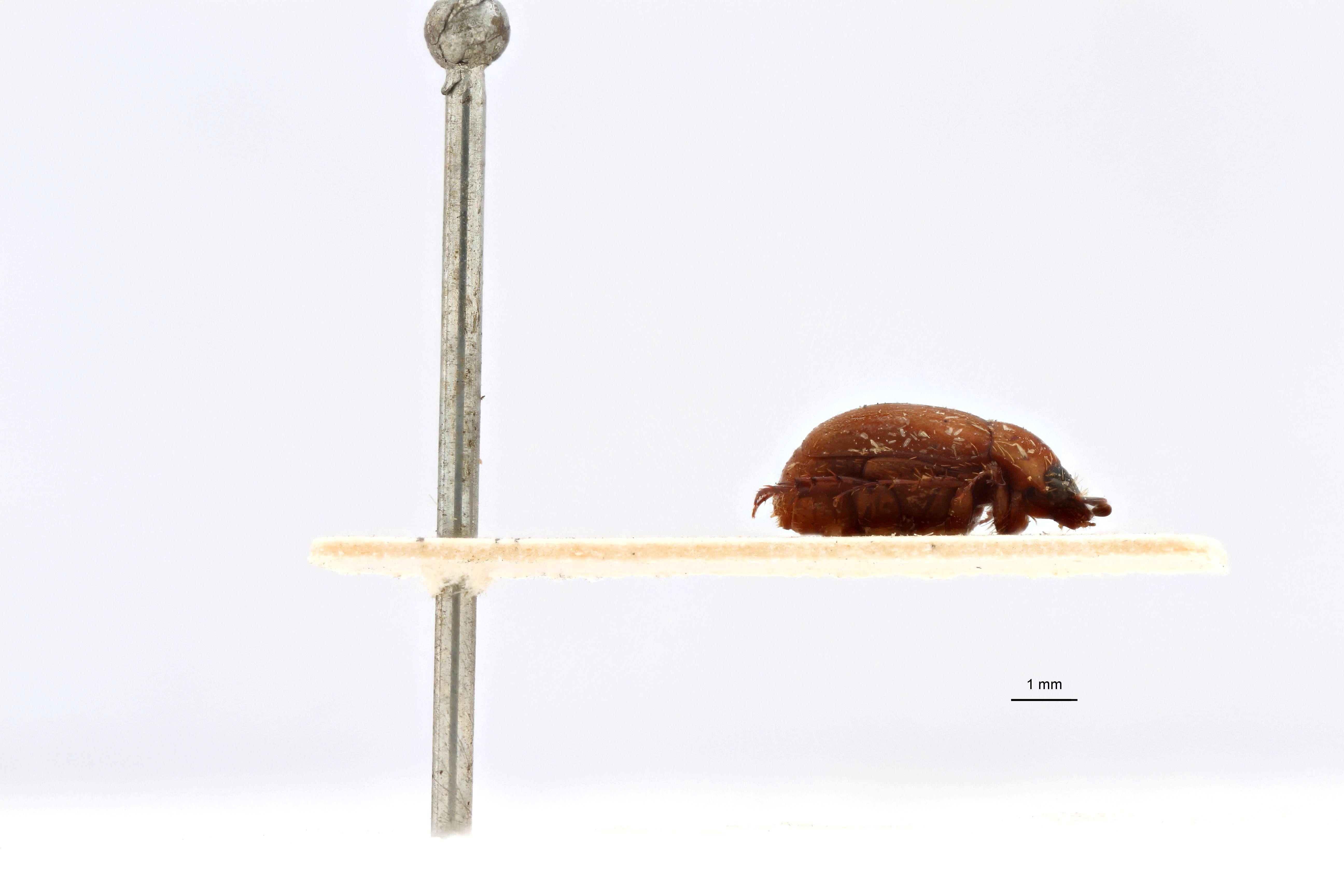 Microserica leopoldiana debilis st L.jpg