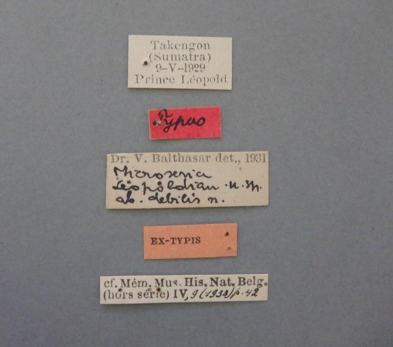 Microserica leopoldiana debilis st.JPG