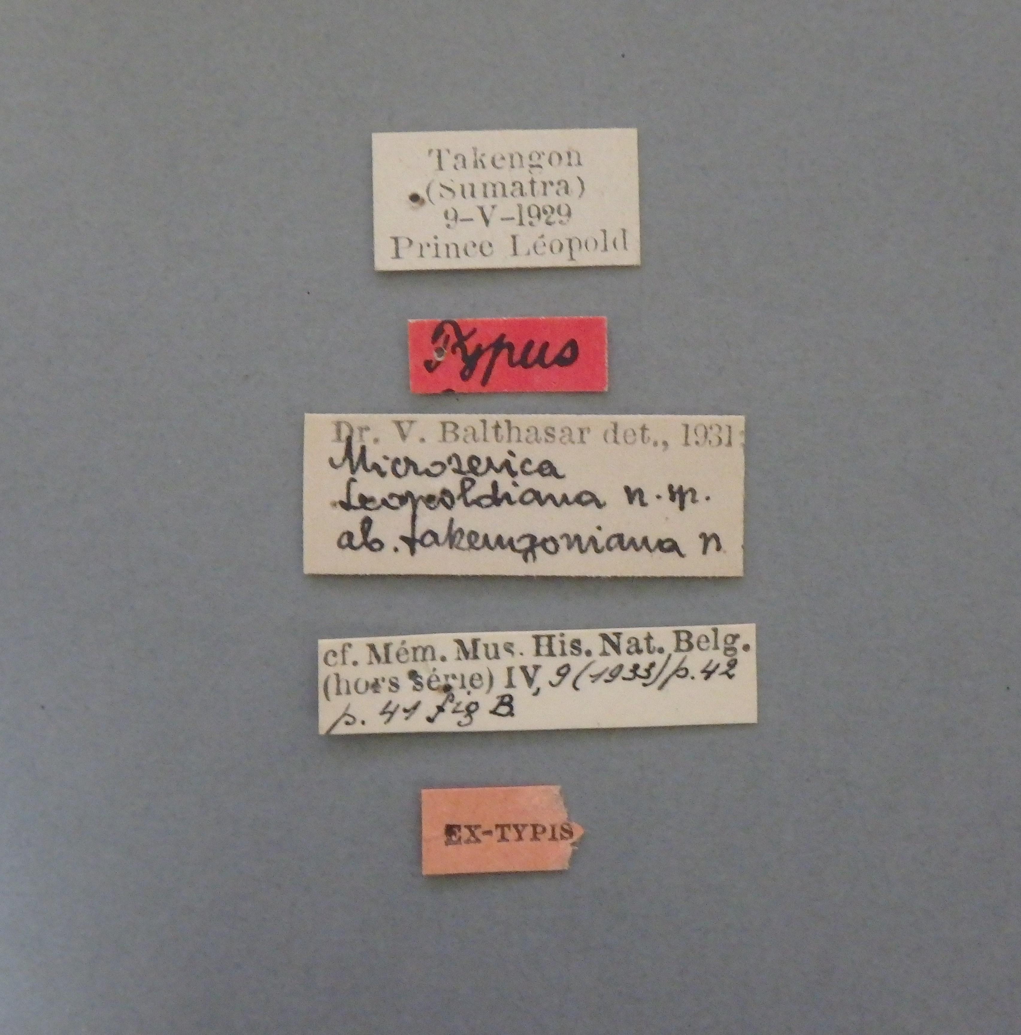 Microserica leopoldiana takengoniana st.JPG