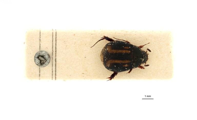 Microserica leopoldiana takengoniana st D.jpg