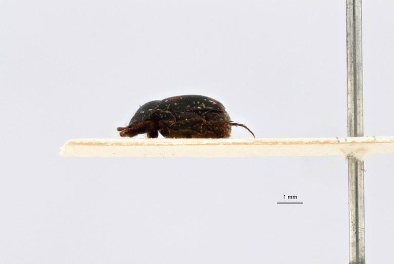 Microserica leopoldiana takengoniana st L.jpg