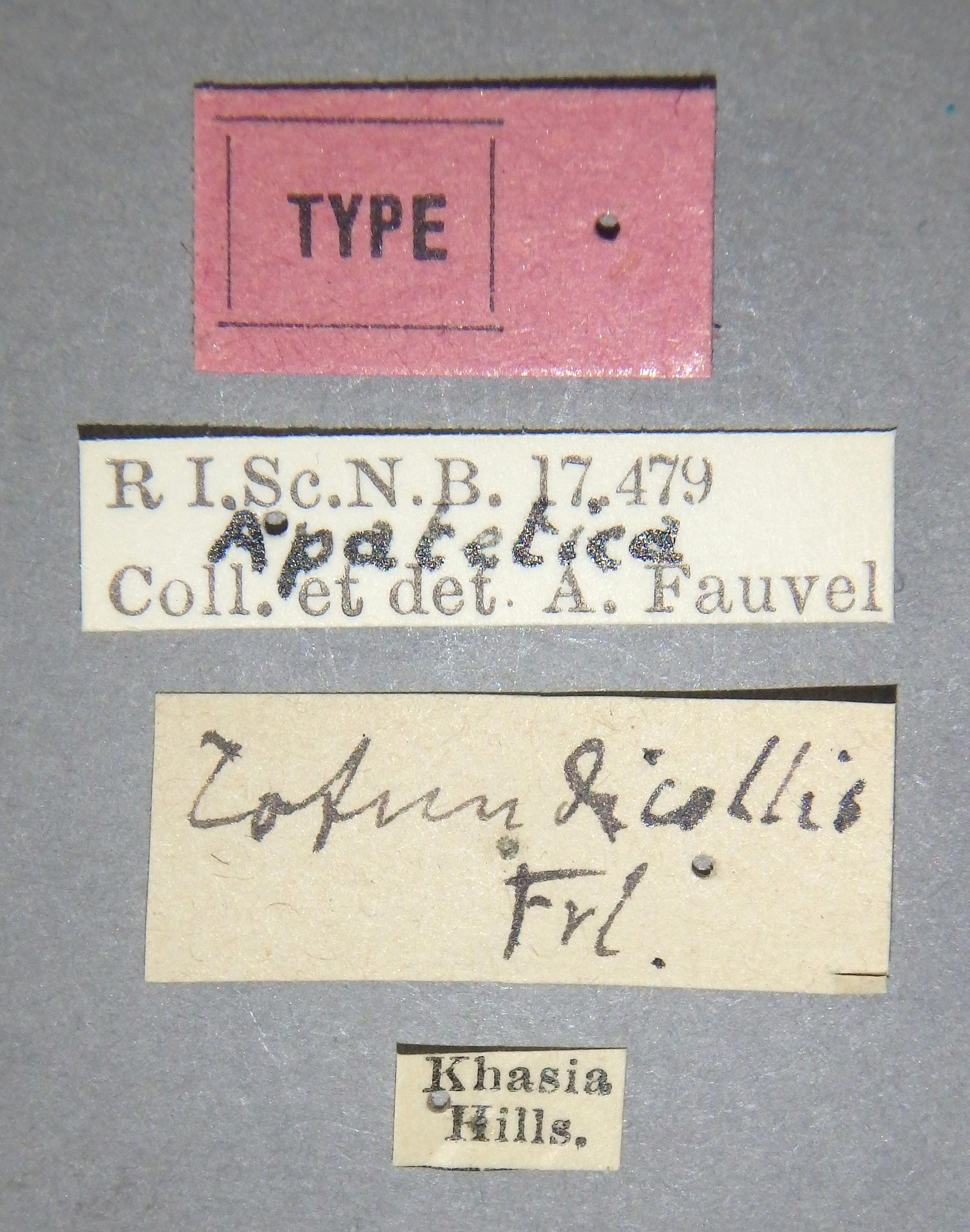 Apatetica rotundicollis t Lb.JPG