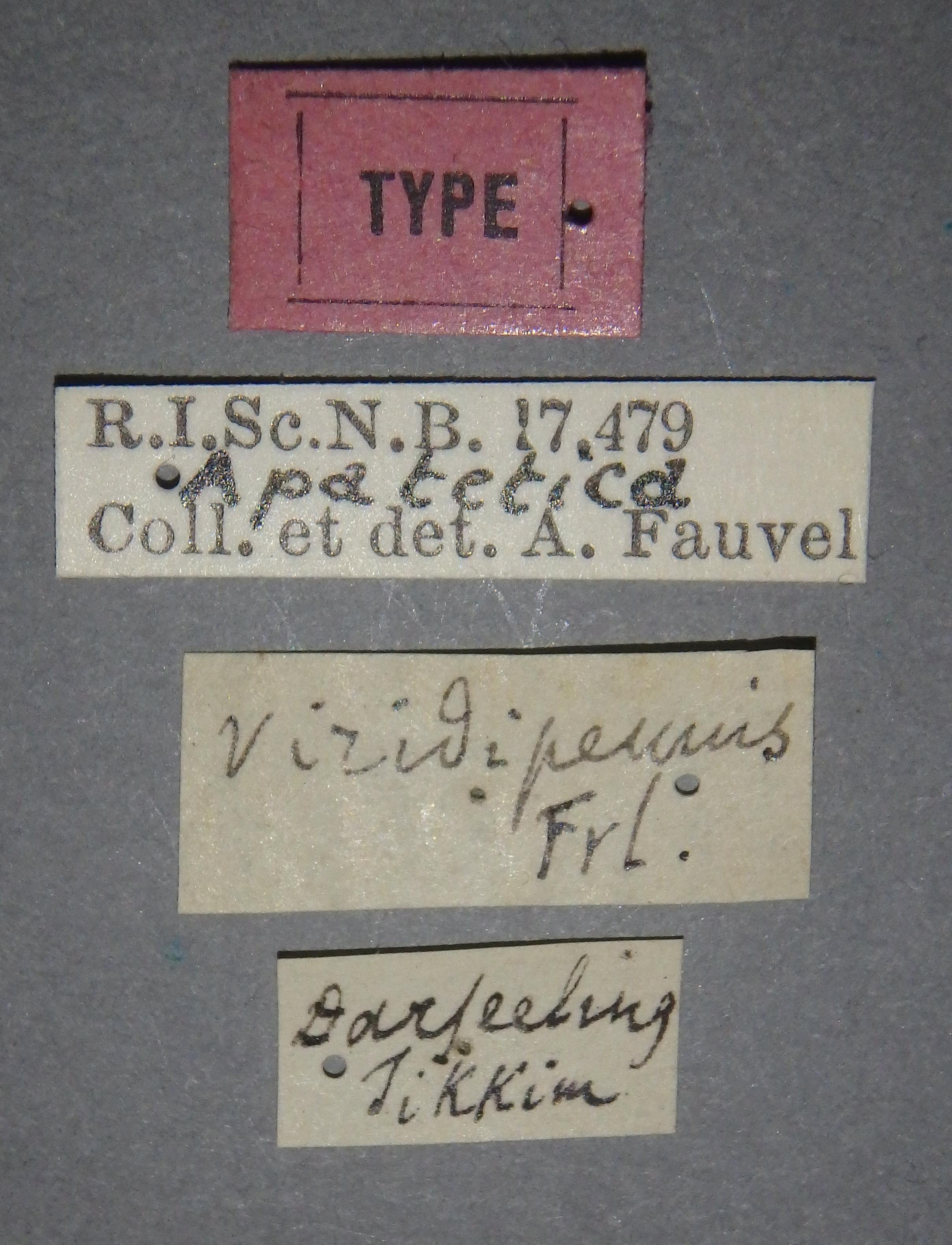 Apatetica viridipennis t Lb.JPG