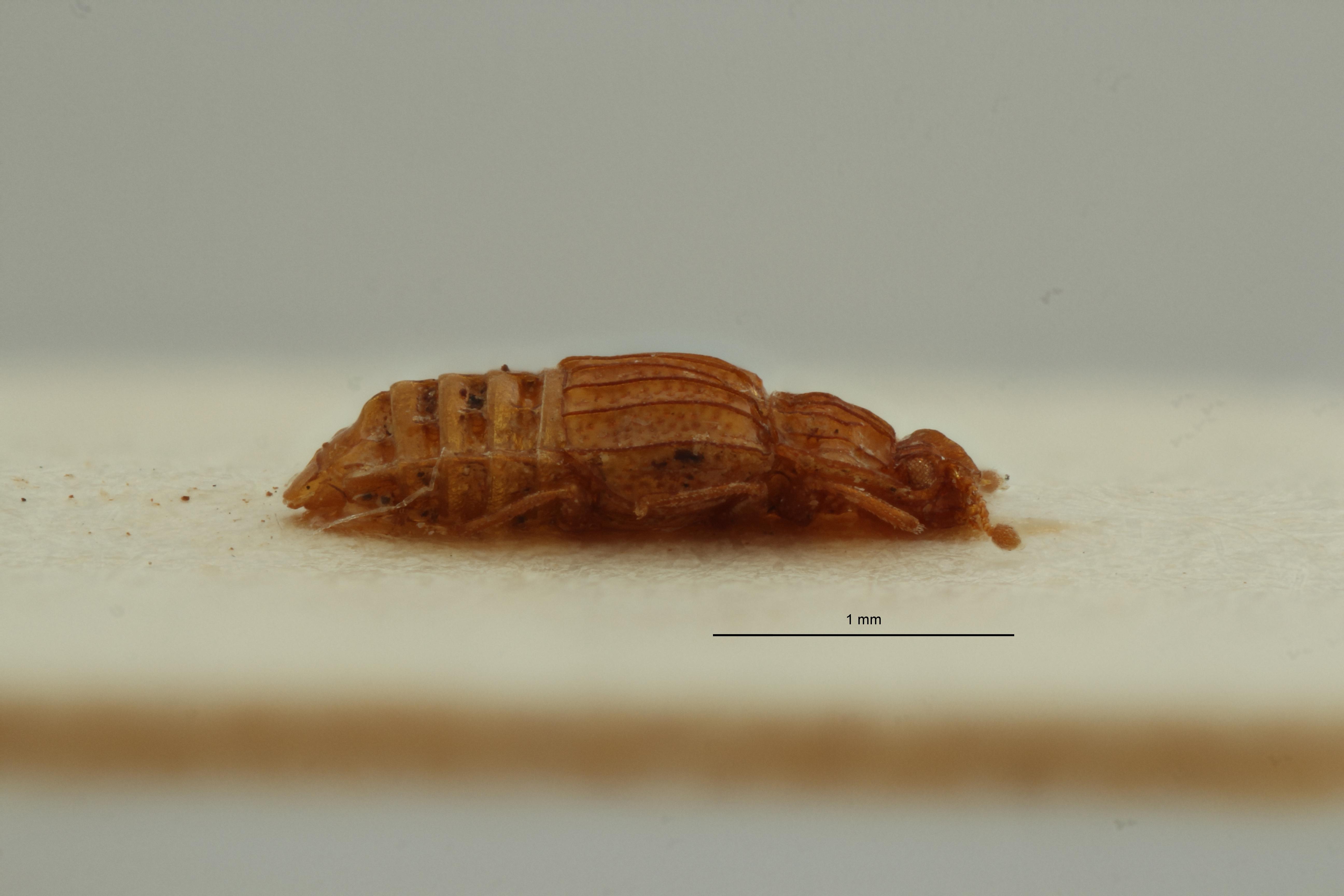 Micropeplus graecus pt L ZS PMax Scaled.jpeg