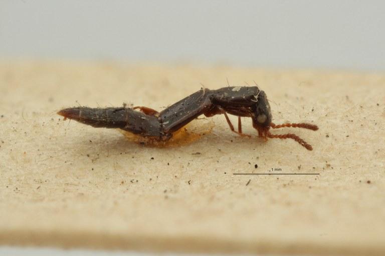 Isomalus nigrellus st L ZS PMax Scaled.jpeg