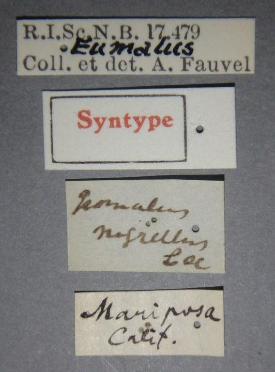 Isomalus nigrellus st Lb.JPG