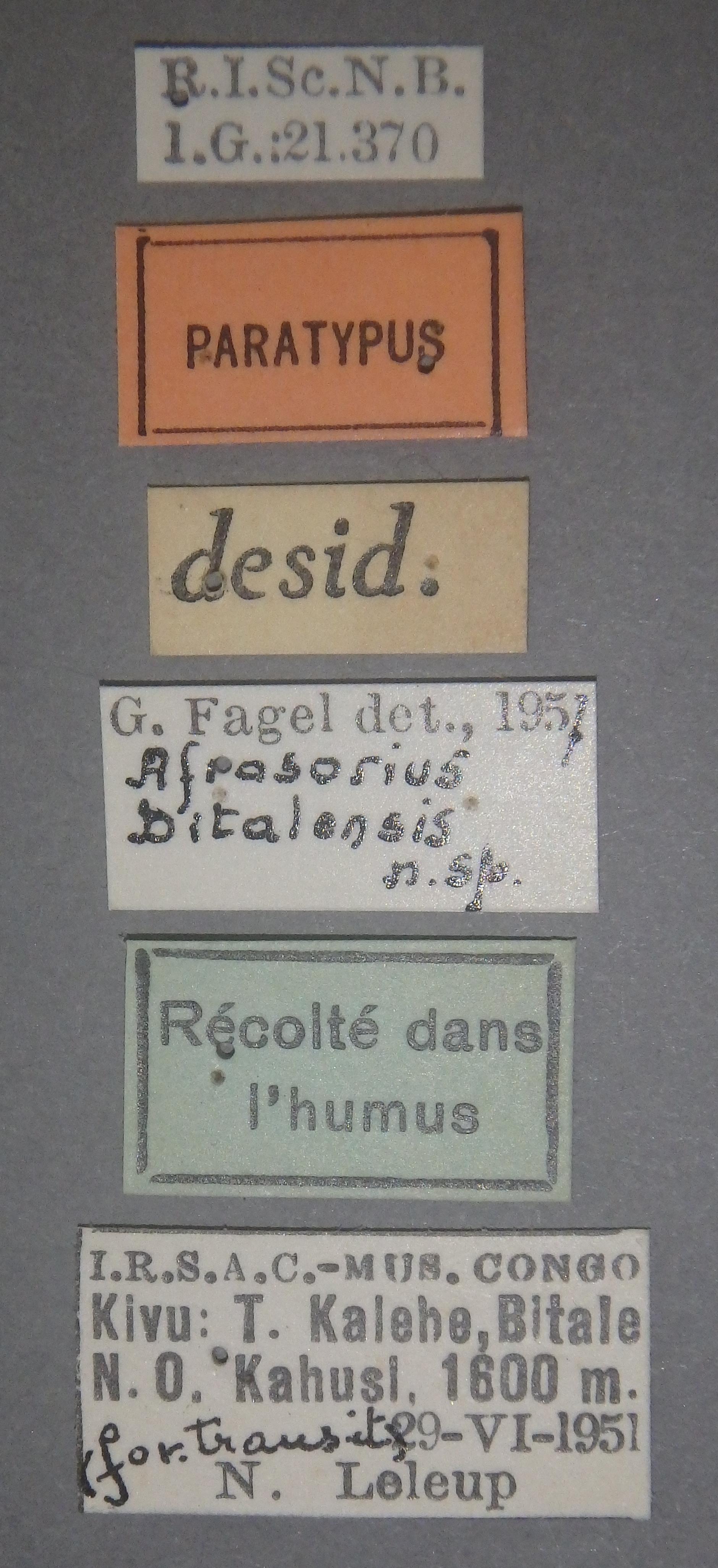 Afrosorius bitalensis pt Lb.JPG