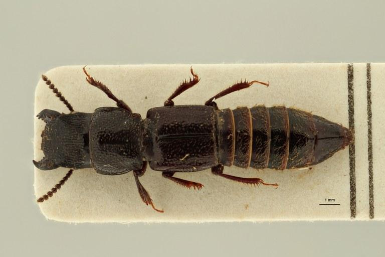 Afrosorius epuluensis pt D ZS PMax Scaled.jpeg