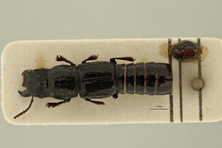 Afrosorius fauveli ht D ZS PMax Scaled.jpeg