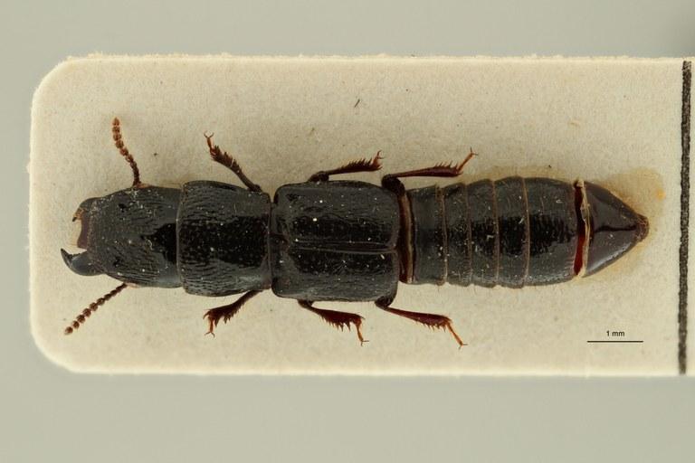 Afrosorius fauveli pt D ZS PMax Scaled.jpeg