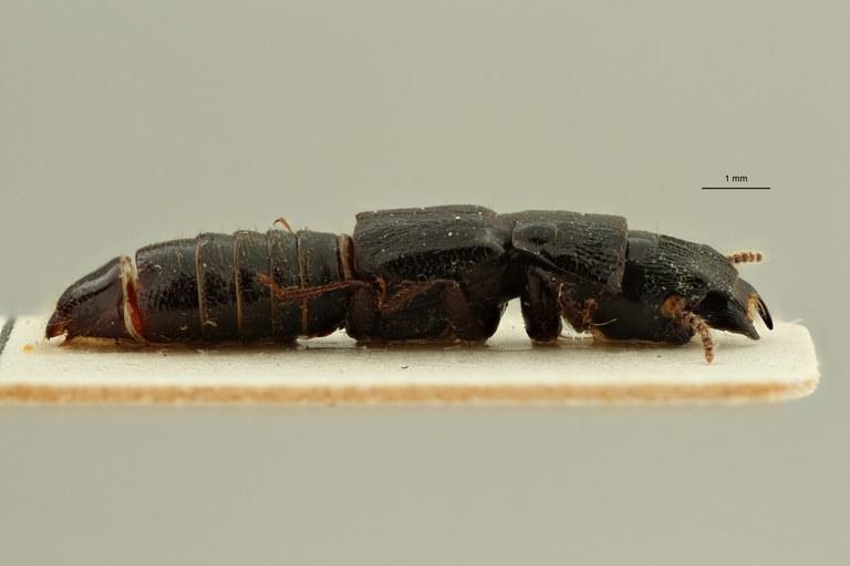 Afrosorius fauveli pt L ZS PMax Scaled.jpeg