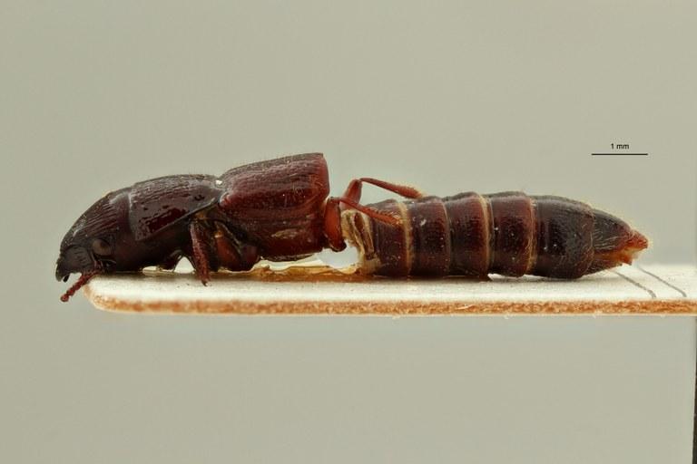 Afrosorius ituriensis pt L ZS PMax Scaled.jpeg