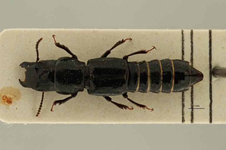 Afrosorius kivuensis pt D ZS PMax Scaled.jpeg