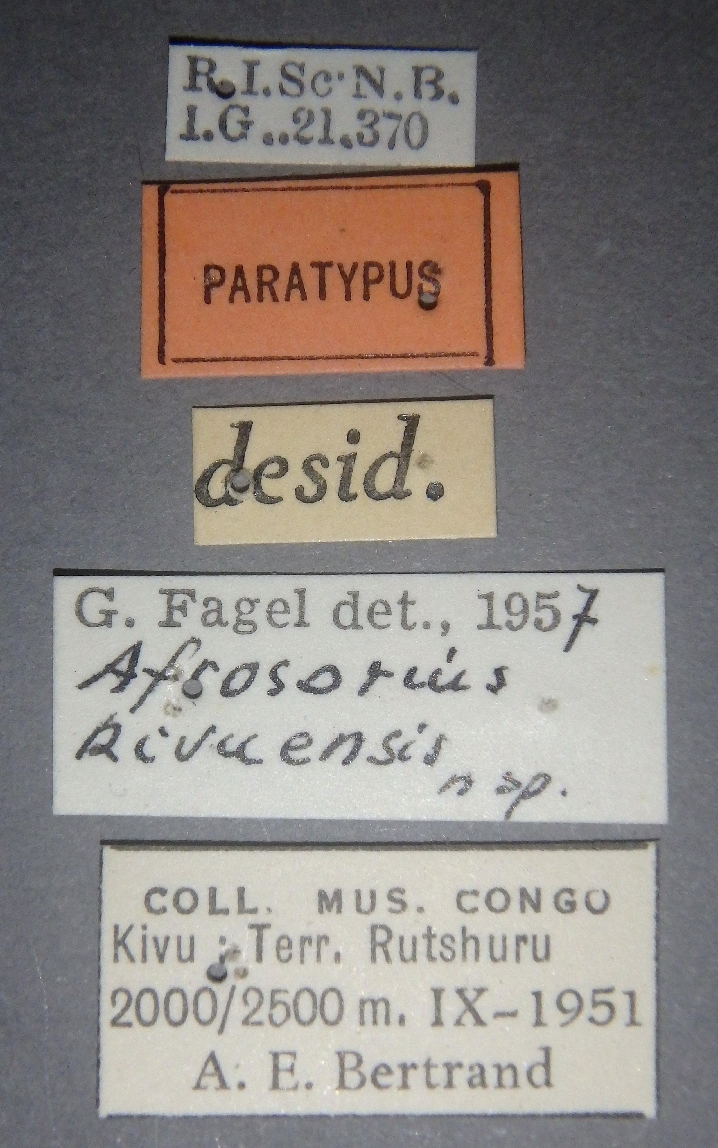 Afrosorius kivuensis pt Lb.JPG