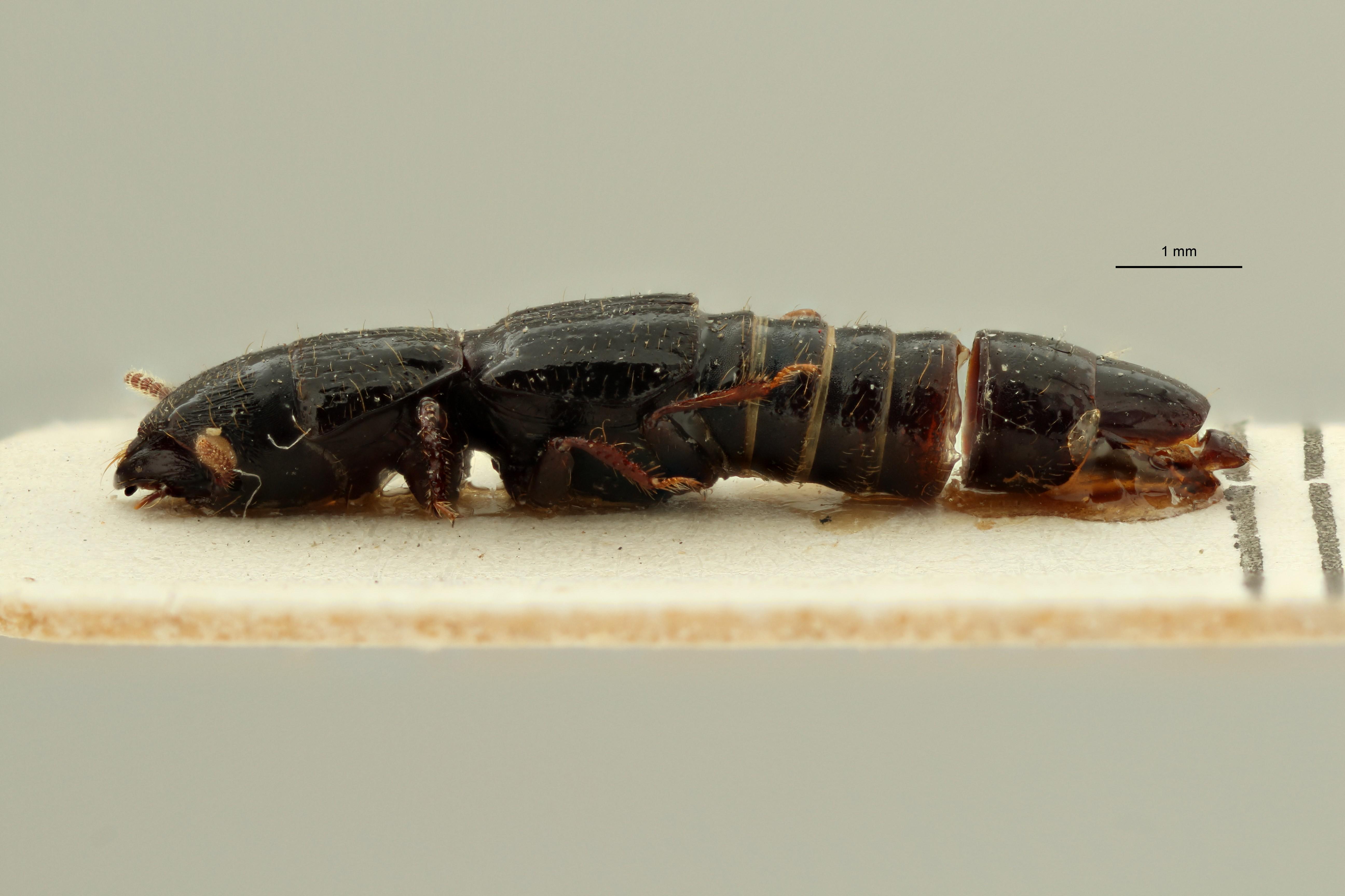 Afrosorius tenuis pt L ZS PMax Scaled.jpeg