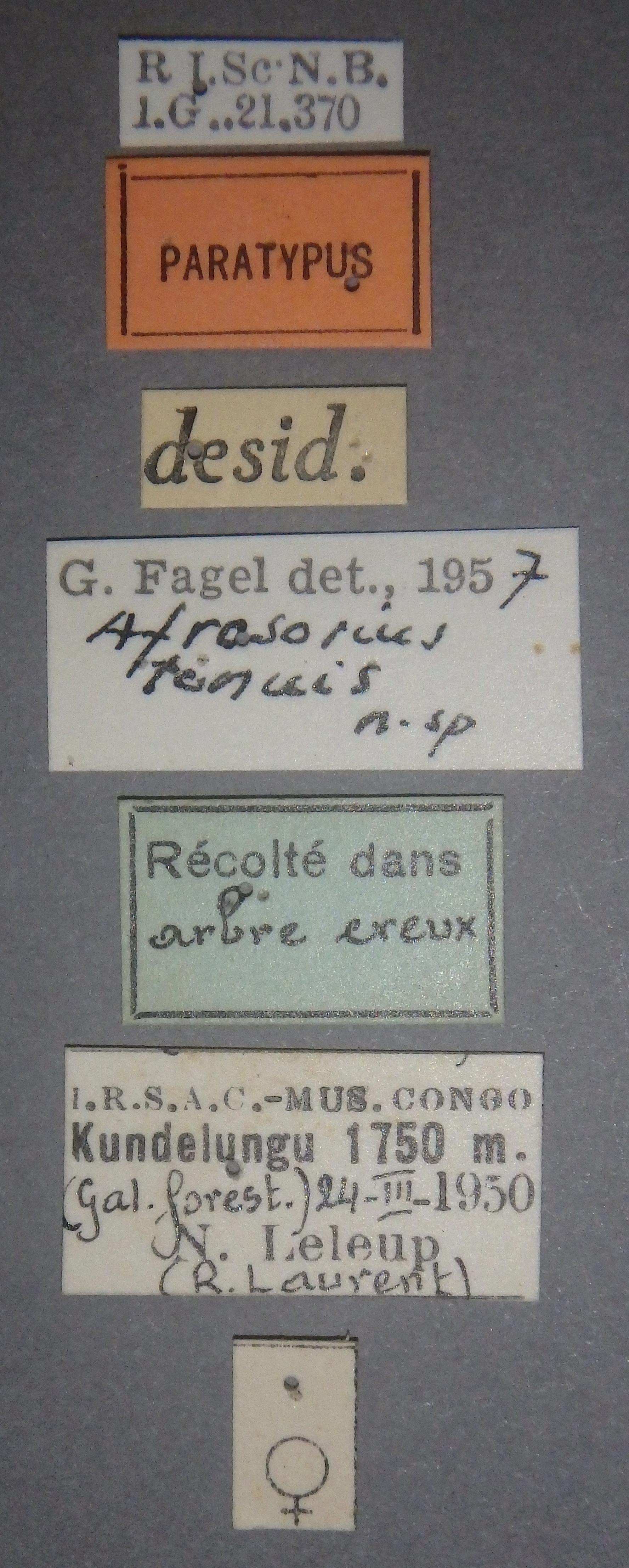 Afrosorius tenuis pt Lb.JPG
