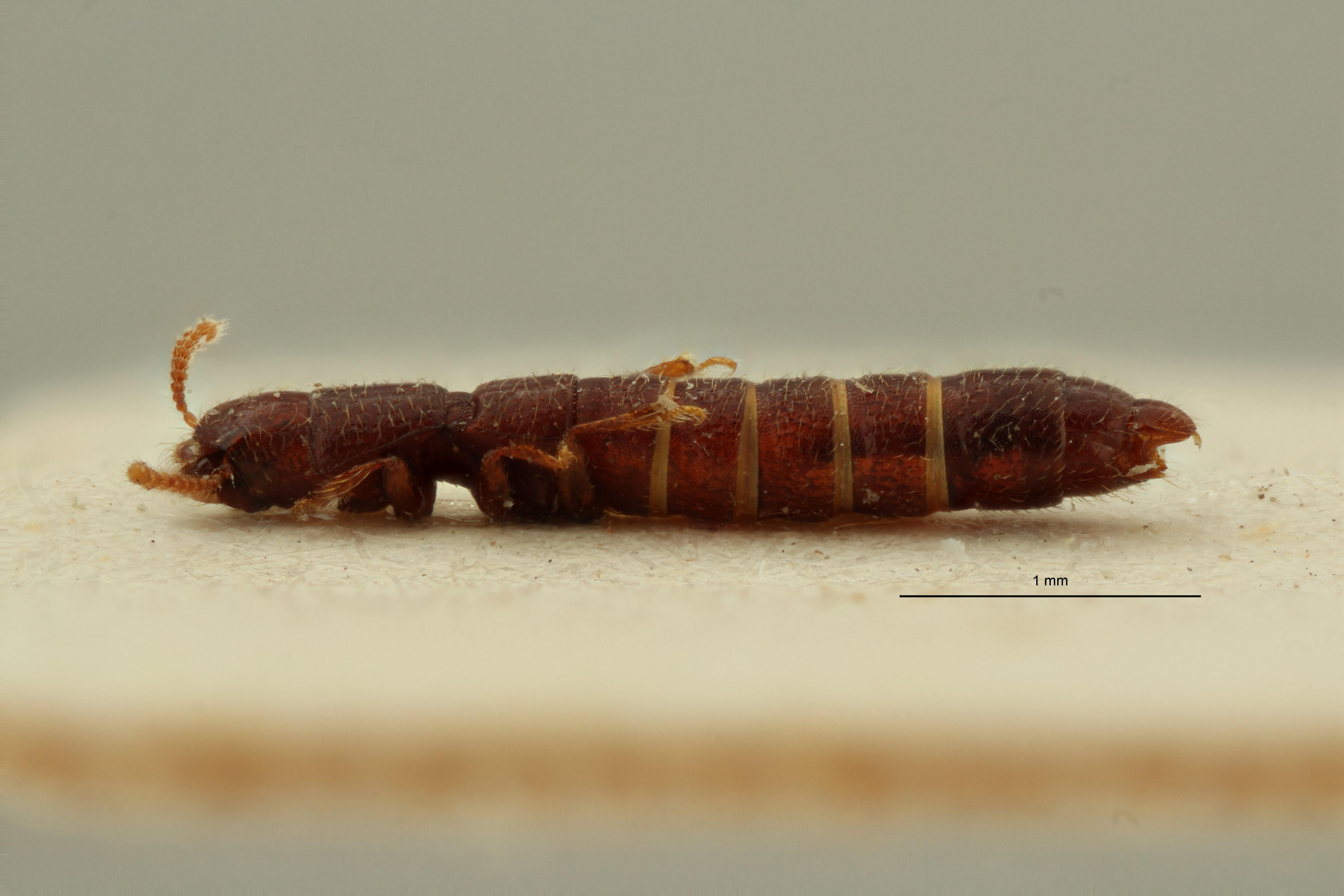Afrotyphlopsis kivuensis pt L ZS PMax Scaled.jpeg