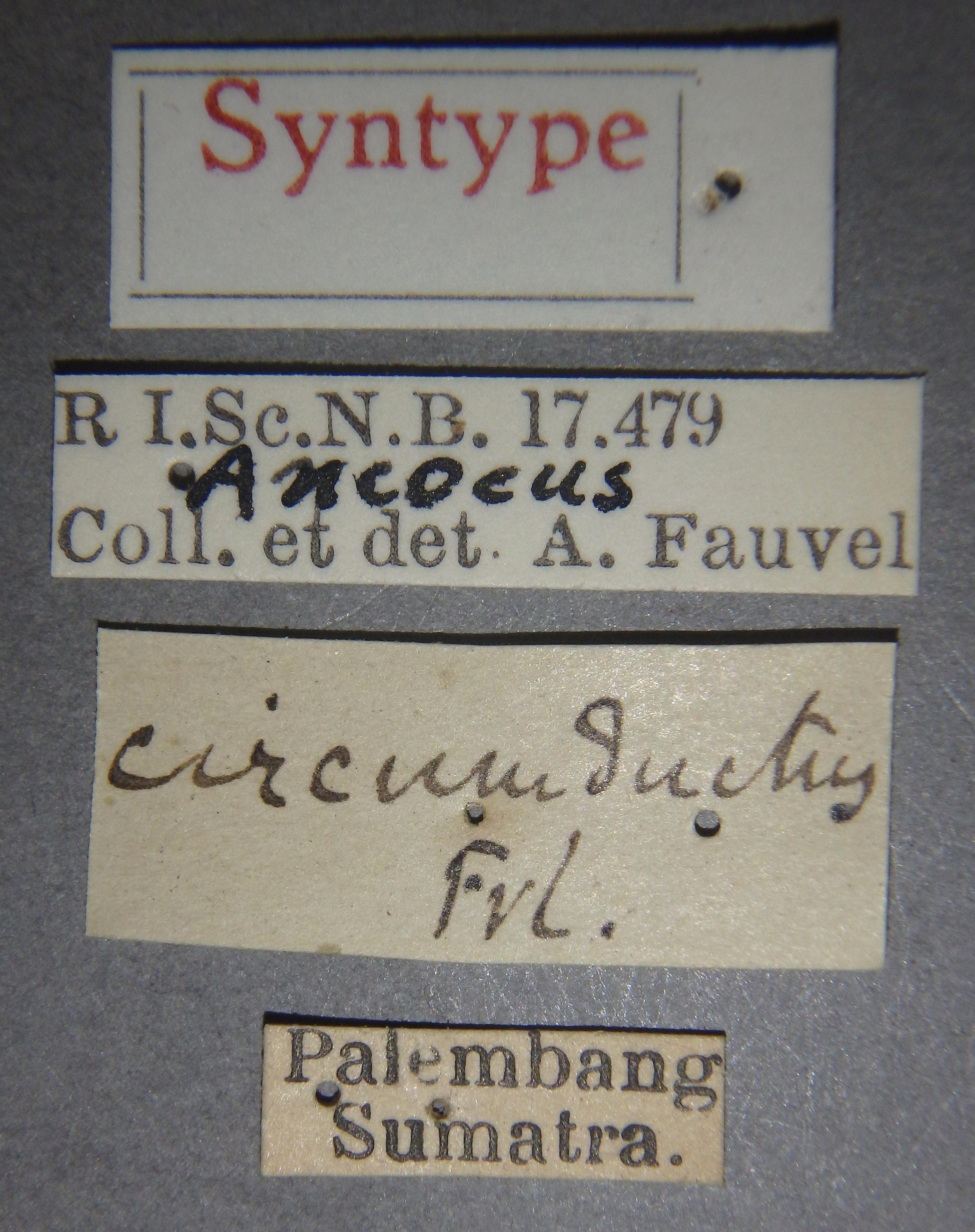 Ancaeus circumductus st Lb.JPG