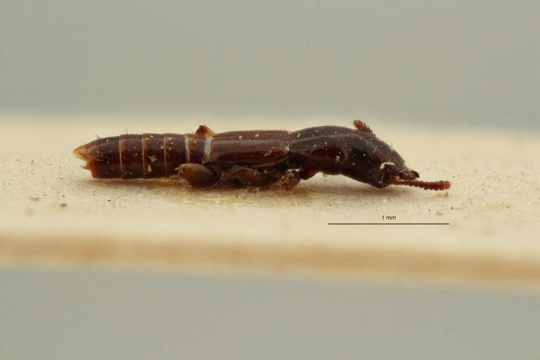Ancaeus megacephalus st L ZS PMax Scaled.jpeg