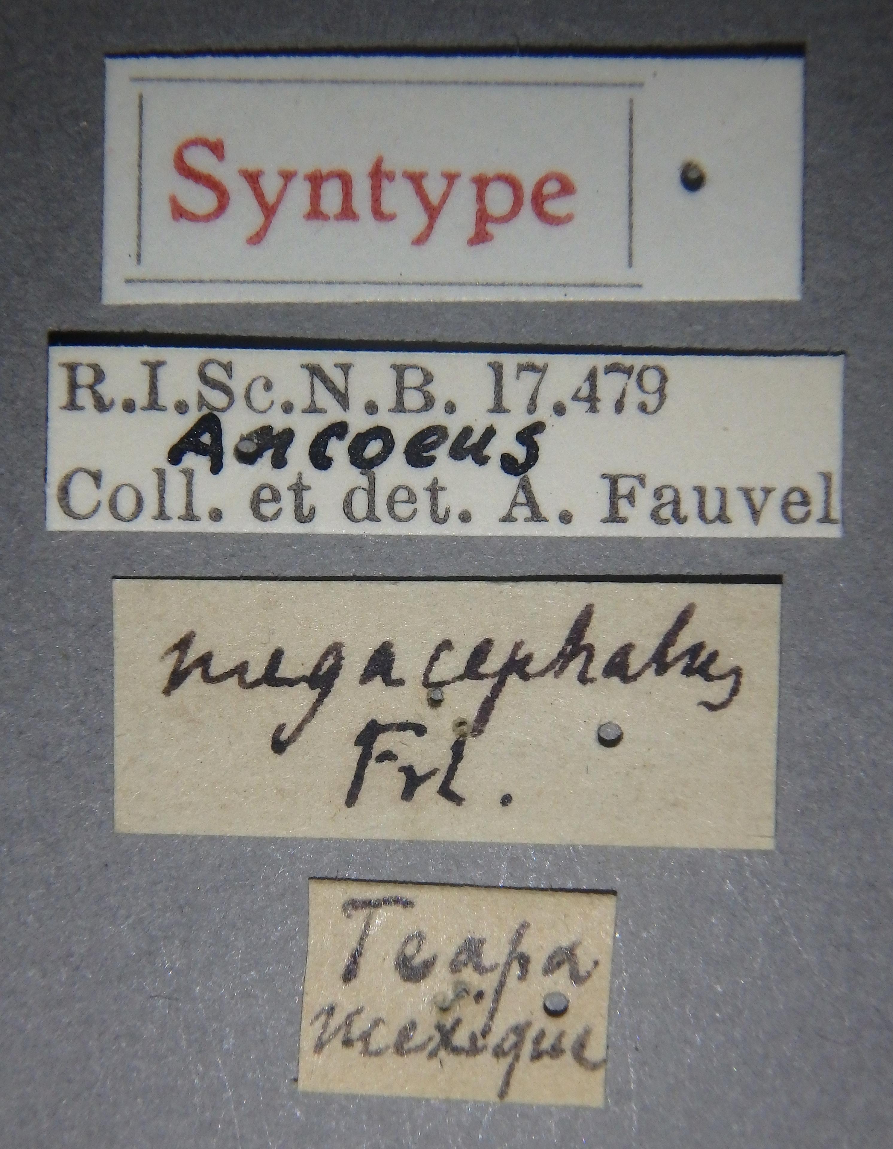 Ancaeus megacephalus st Lb.JPG