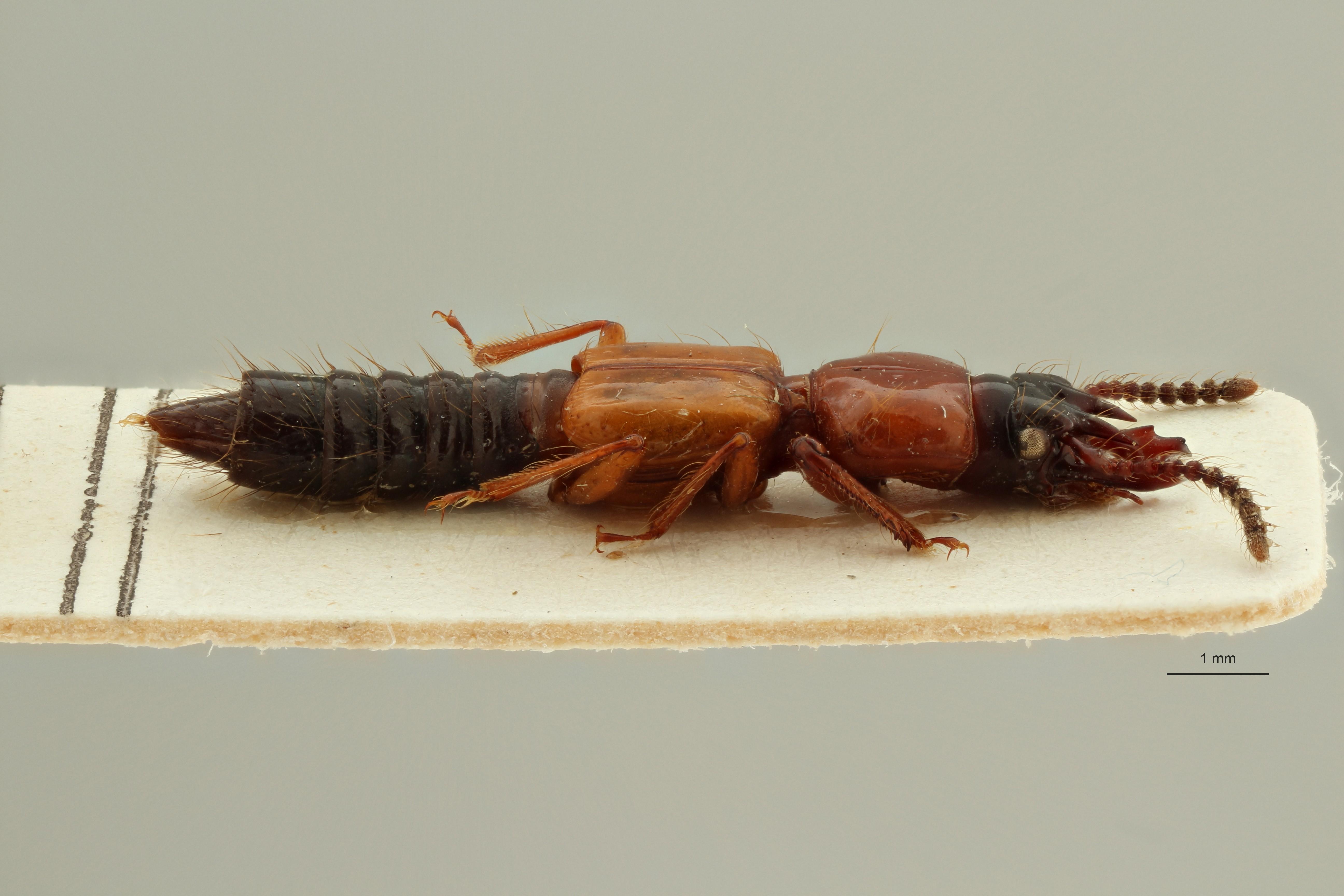 Borolinus semirufus st2 L ZS PMax Scaled.jpeg