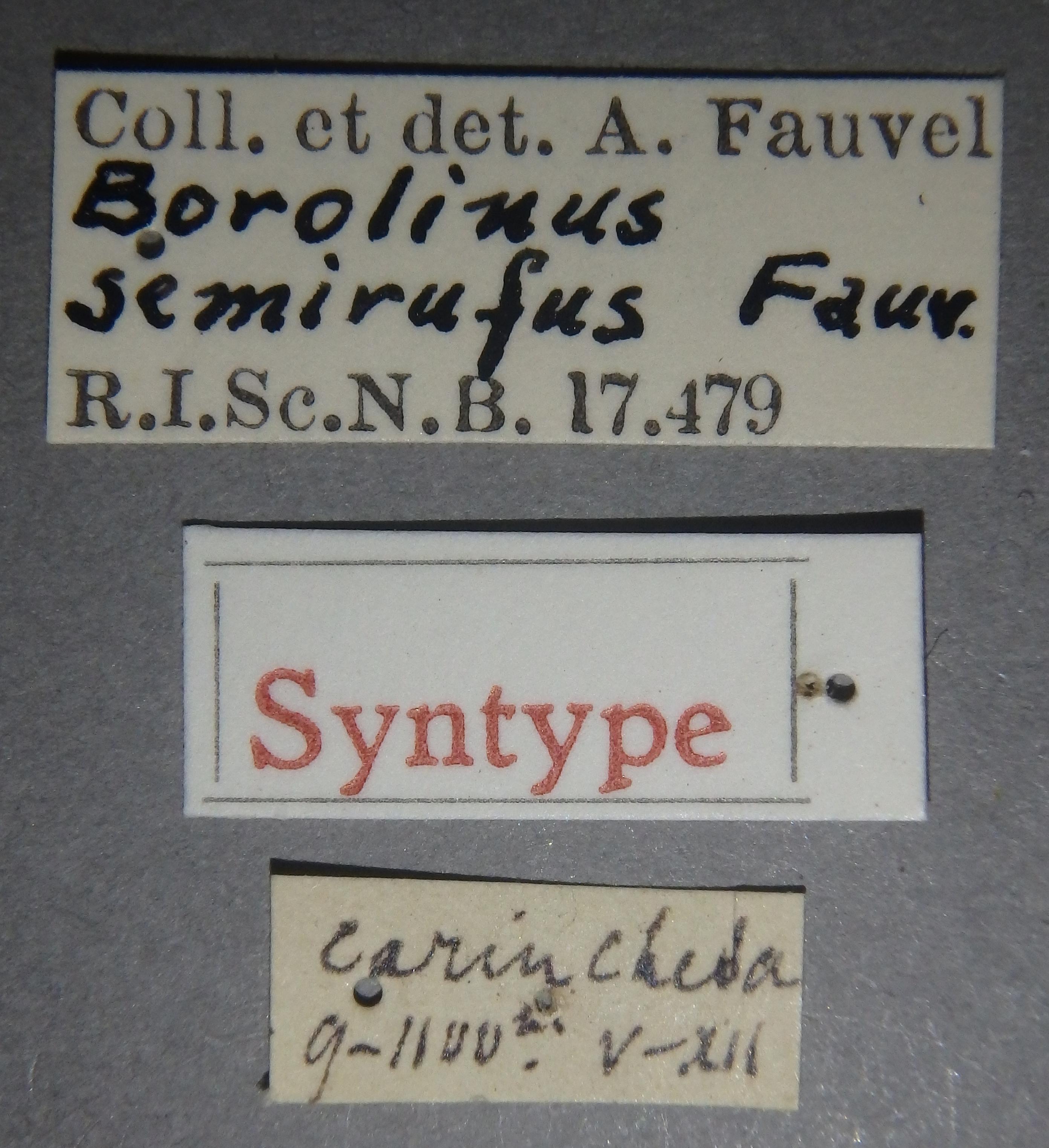 Borolinus semirufus st1 Lb.JPG