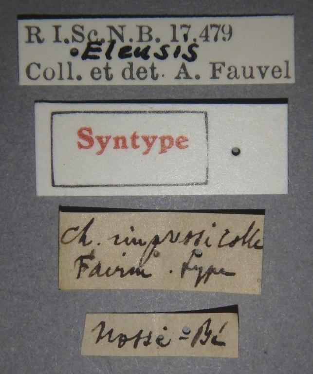 Chasolium impressicollis st Lb.JPG