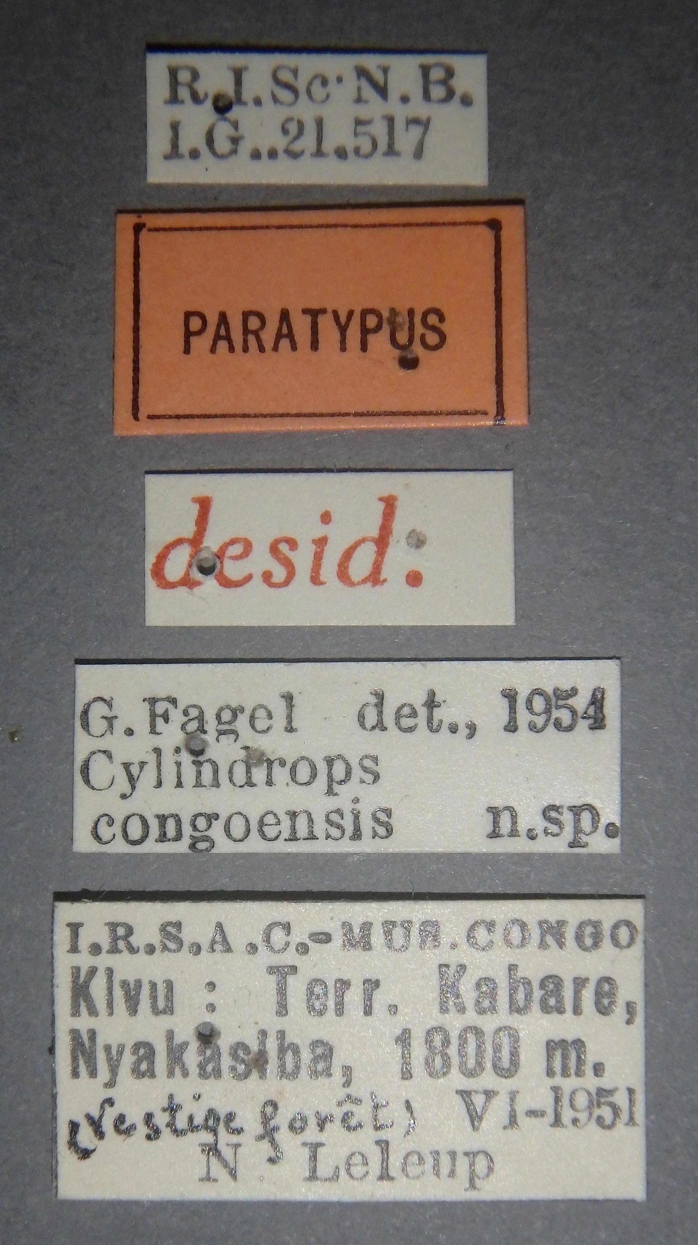 Cylindrops congoensis pt Lb.JPG