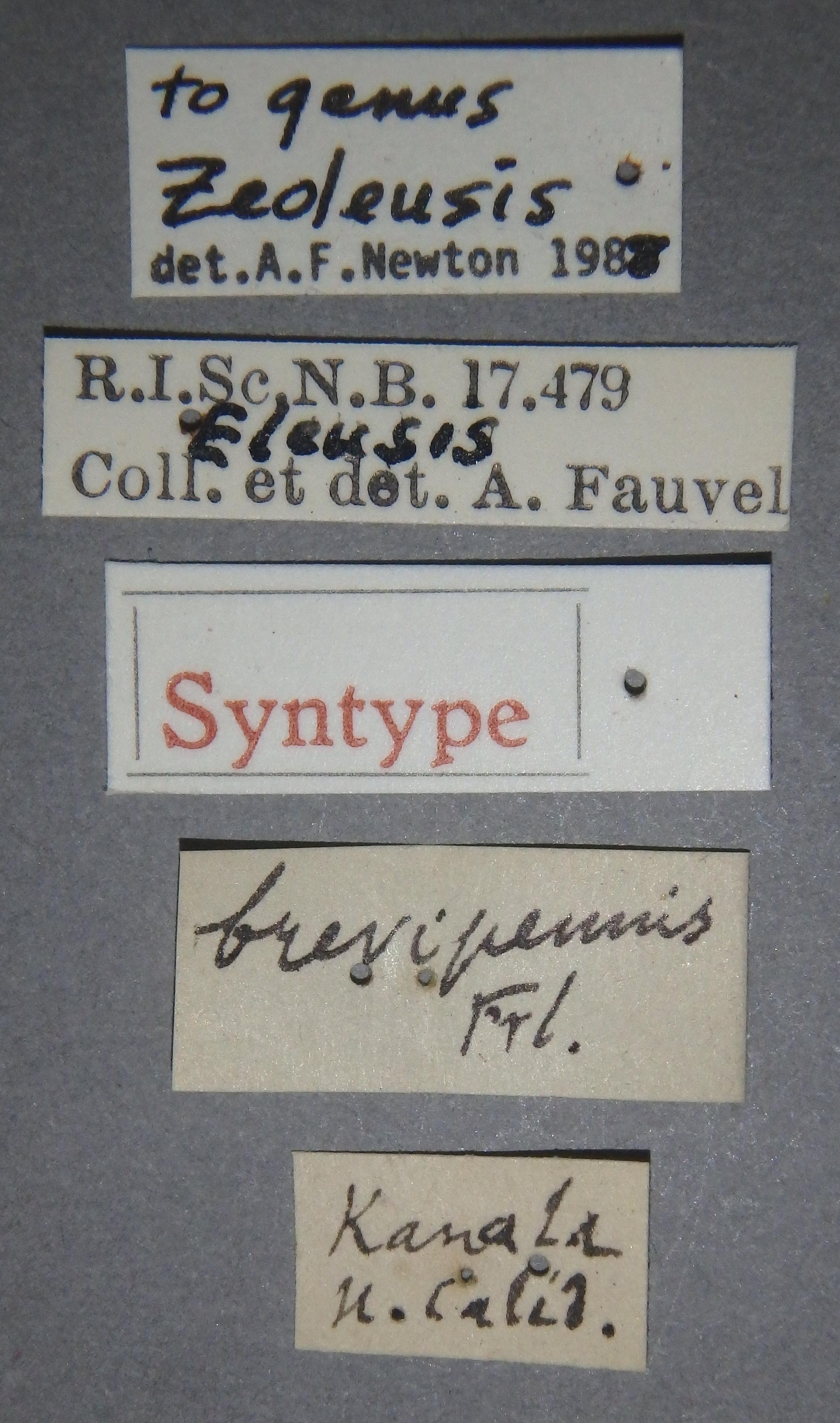 Eleusis brevipennis st Lb.JPG