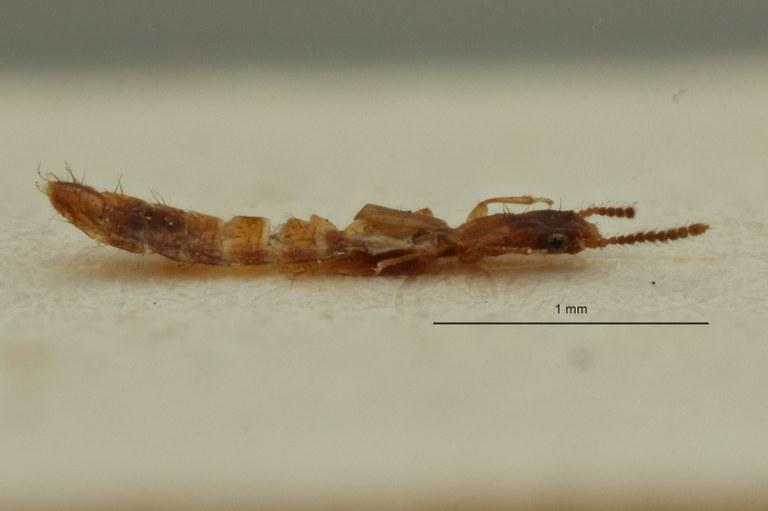 Eleusis fusciceps st L ZS PMax Scaled.jpeg