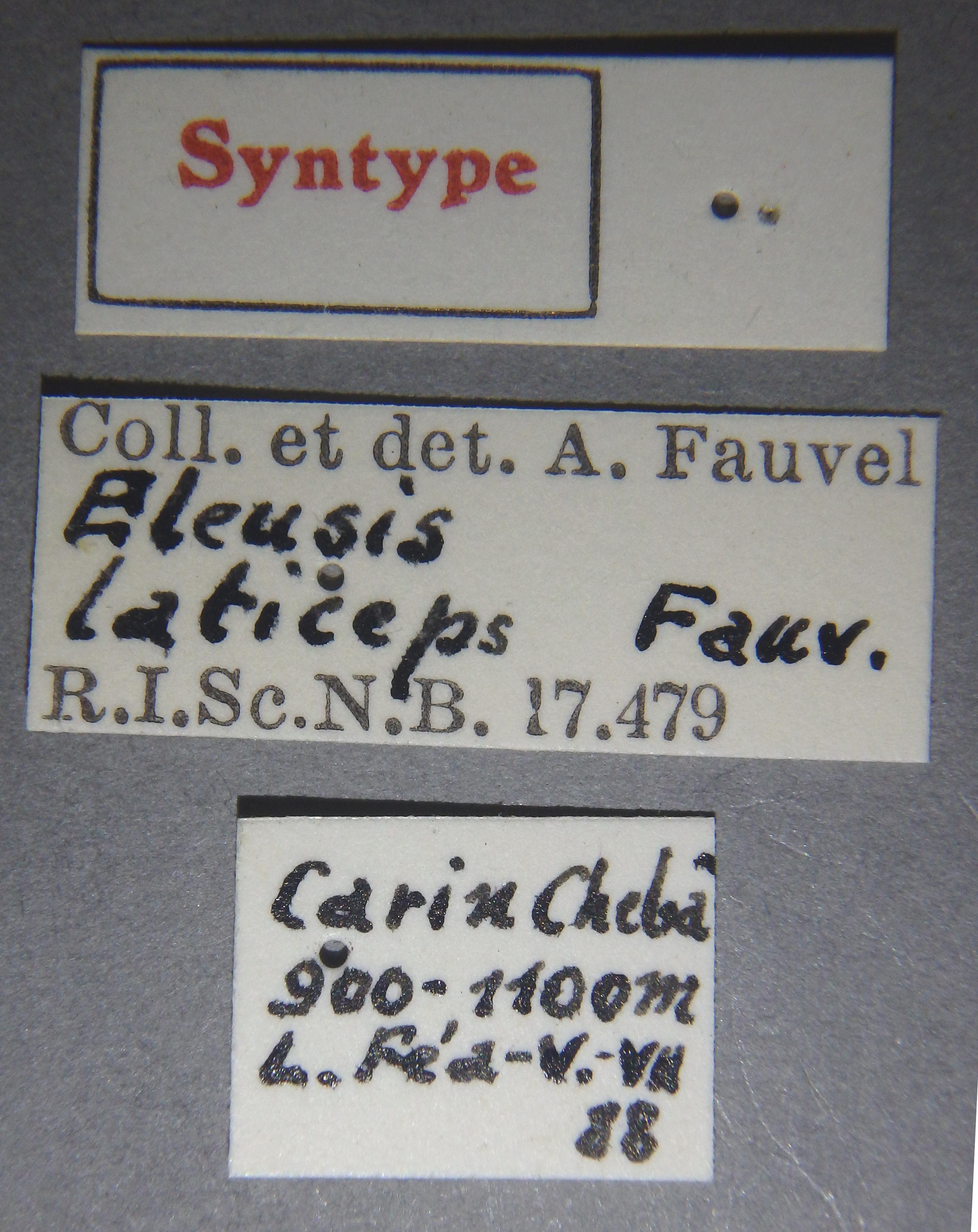 Eleusis laticeps st Lb.JPG