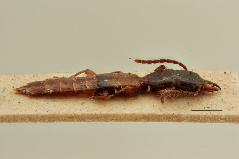 Eleusis longicornis st L ZS PMax Scaled.jpeg