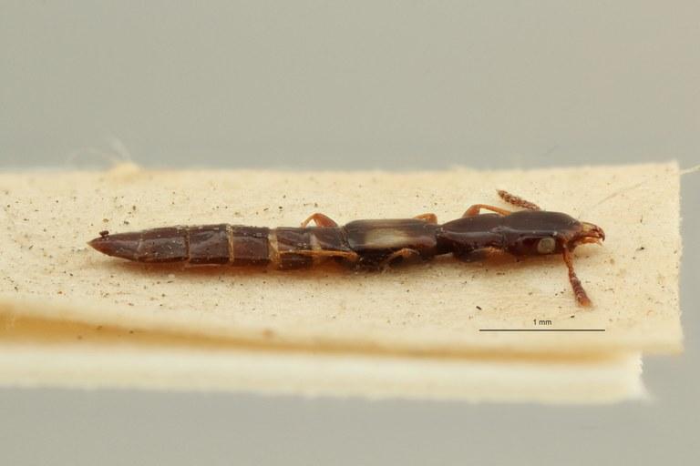Eleusis nigerrima t L ZS PMax Scaled.jpeg