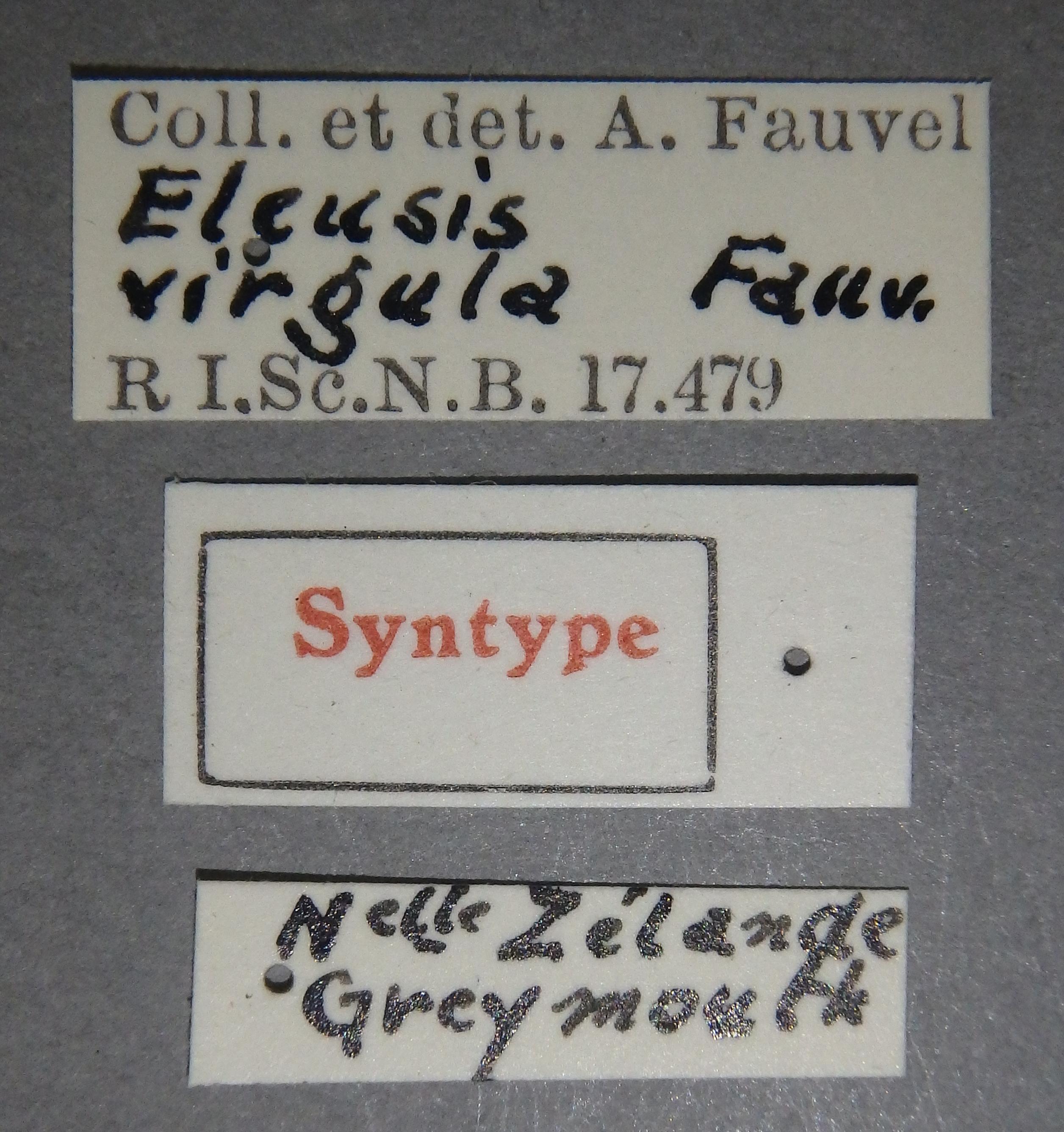 Eleusis virgula st Lb.JPG