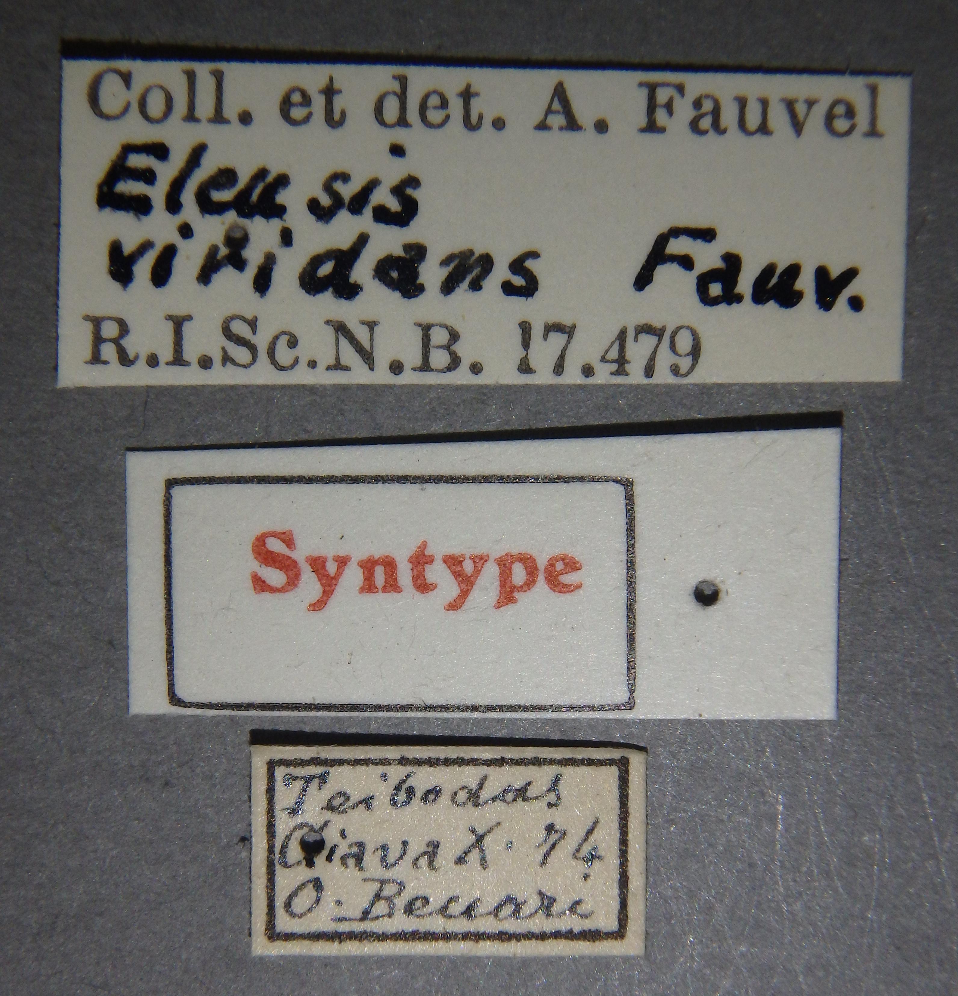 Eleusis viridans st2 Lb.JPG