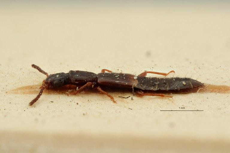 Eumalus strigosus et L ZS PMax Scaled.jpeg