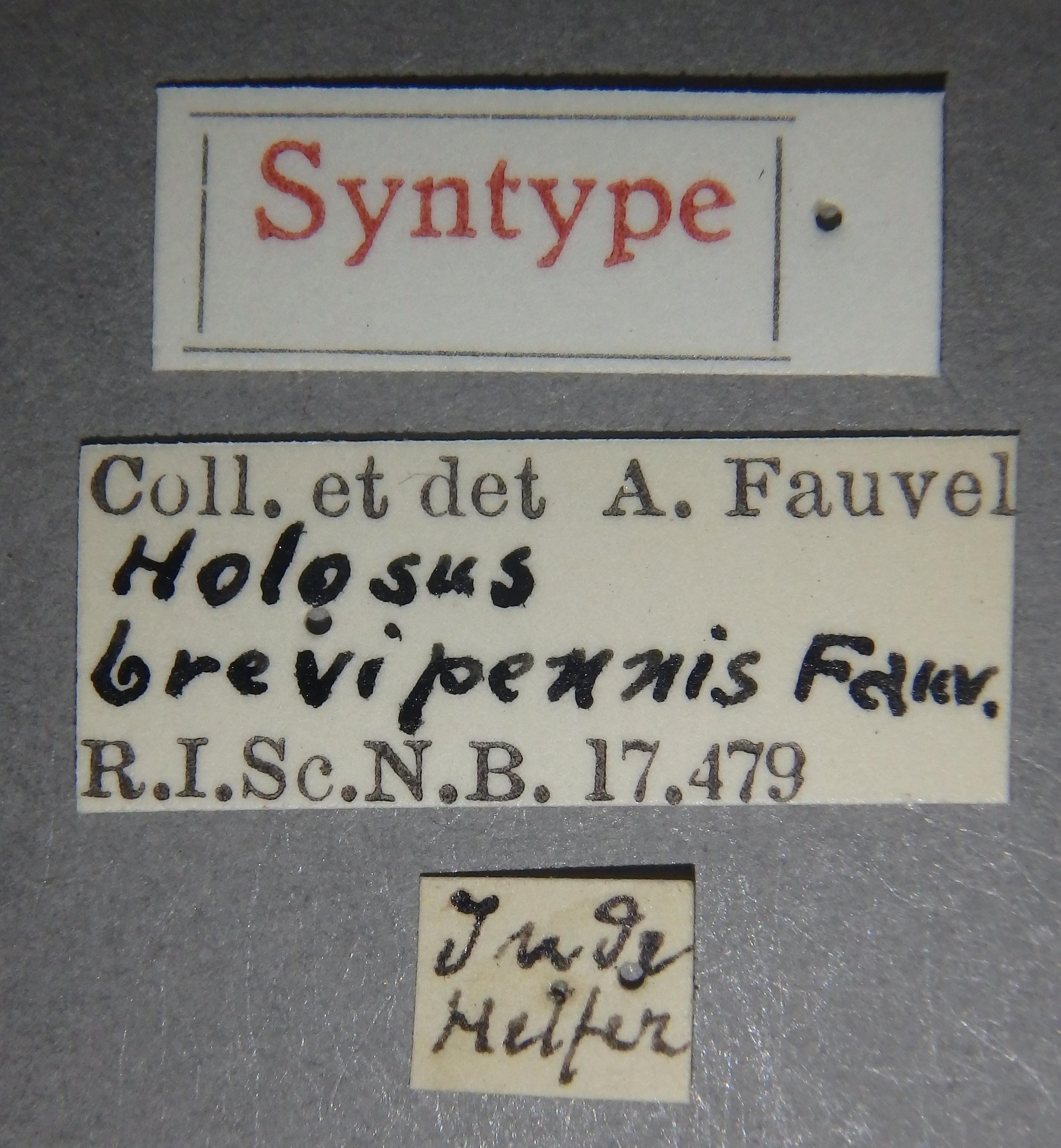 Holosus brevipennis st Lb.JPG