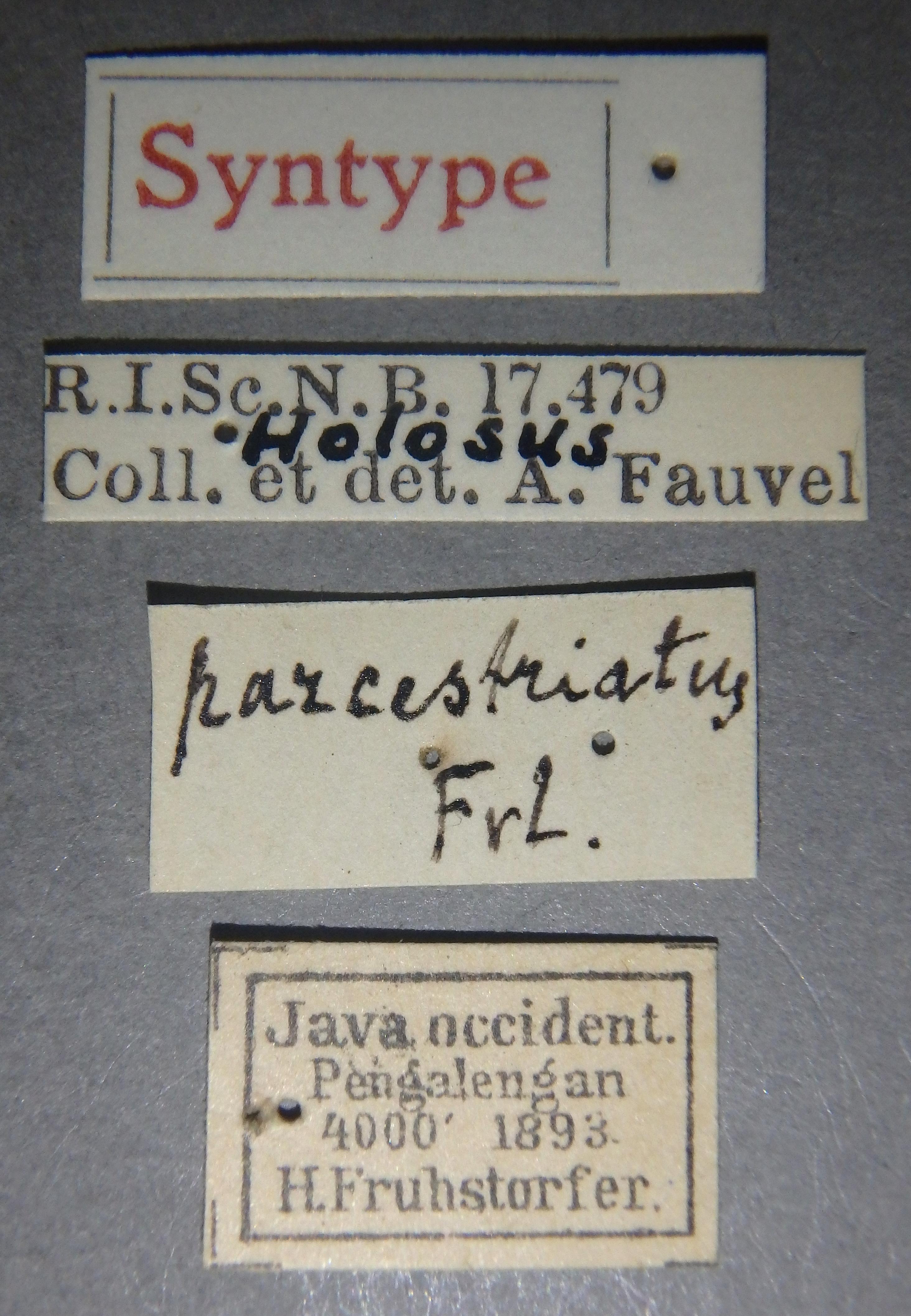Holosus parcestriatus st Lb.JPG