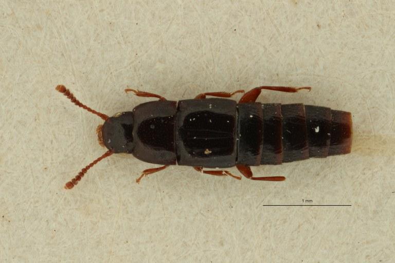 Holosus tenuicornis t D ZS PMax Scaled.jpeg