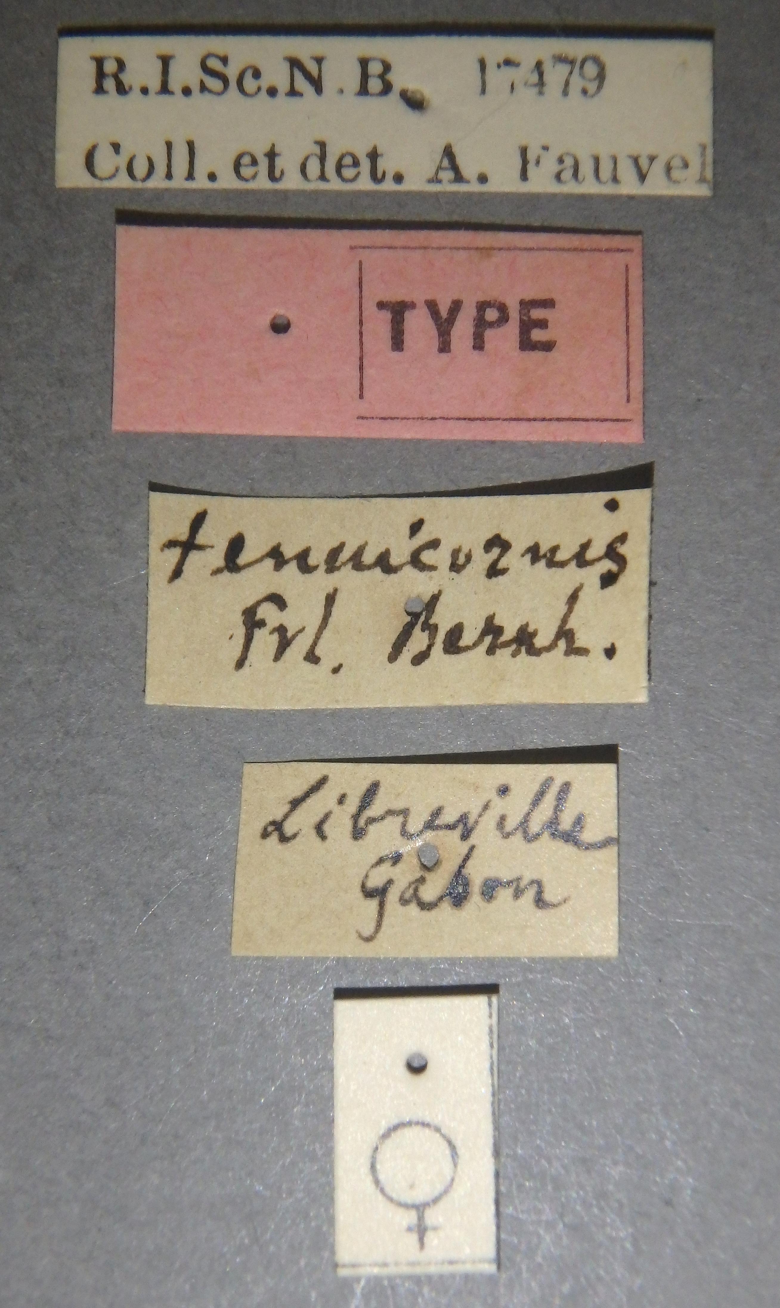 Holosus tenuicornis t Lb.JPG