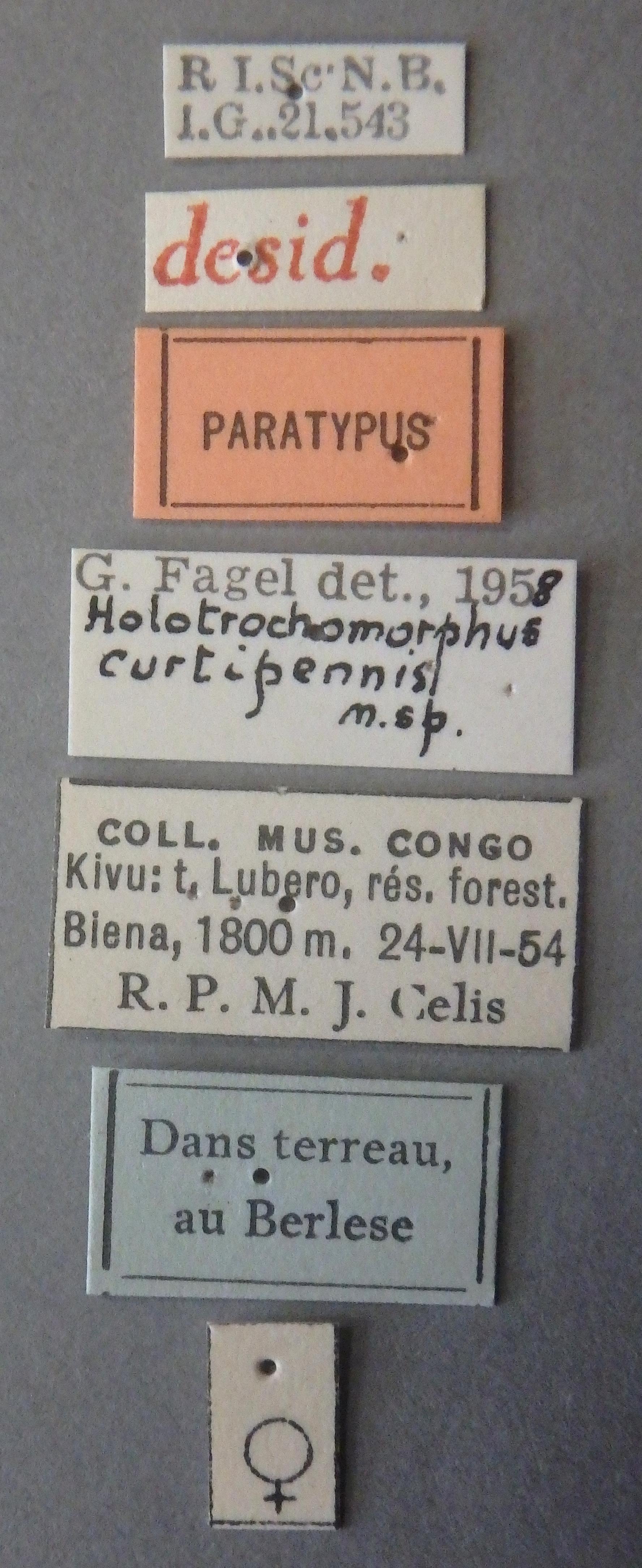 Holotrochomorphus curtipennis pt Lb.JPG