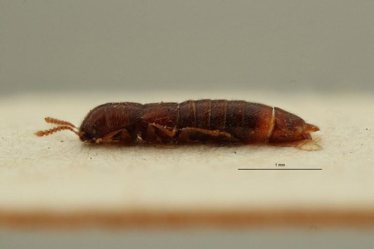 Holotrochomorphus curtipennis pt L ZS PMax Scaled.jpeg