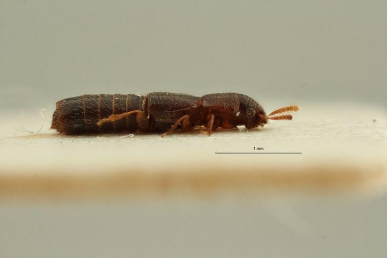 Holotrochomorphus proximus pt L ZS PMax Scaled.jpeg