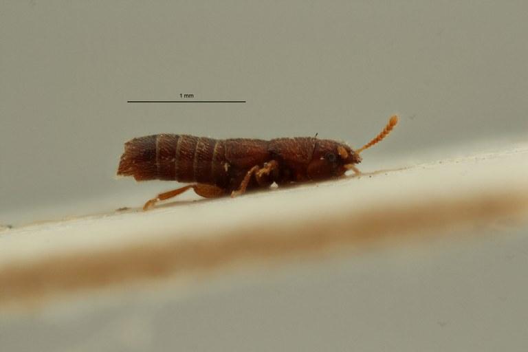 Holotrochomorphus saegeri pt L ZS PMax Scaled.jpeg